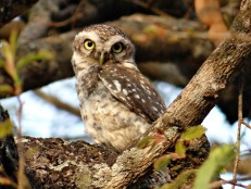 spotted-owlet-323976_1920